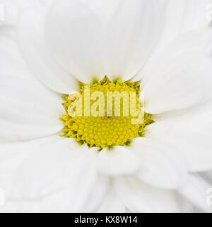 White flower chrysanthemum, chamomile. white petals - Stock Photo