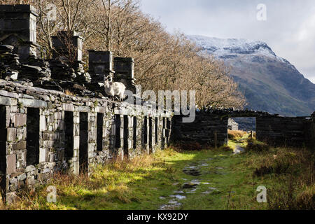 Wild goat on ruins of Anglesey Barracks quarrymen's cottages in Dinorwig slate quarry on Elidir Fawr in Snowdonia - Stock Photo