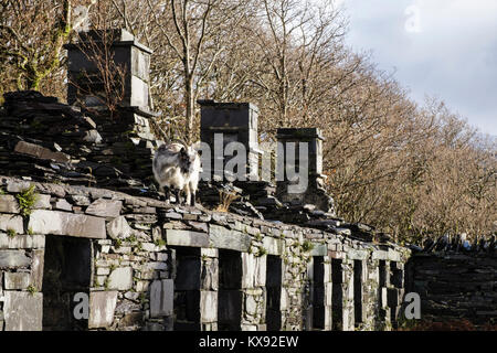 Wild goat on ruins of Anglesey Barracks quarrymen's cottages in Dinorwig slate quarry in Snowdonia National Park - Stock Photo