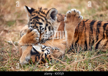 Cute little Tiger cubs playing in the grass - Stock Photo