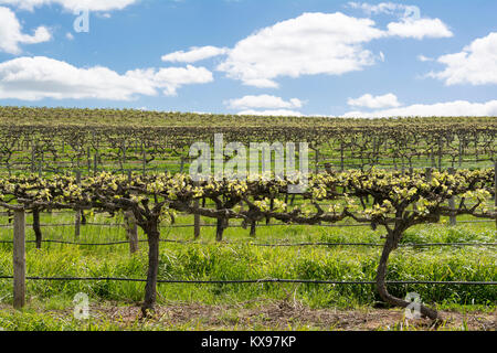 Random vineyard, filled with newly sprouting grape vines. Found in the tourism district of Barossa Valley, within - Stock Photo