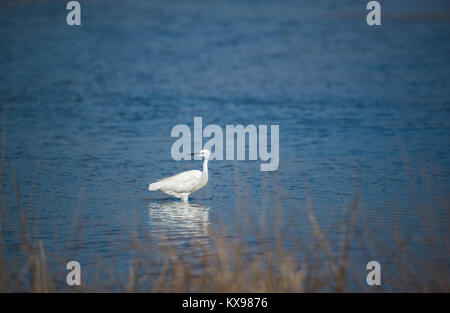 White Heron standing in blue river - Stock Photo