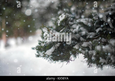 Close-up macro of snow covered vivid green coloured fir-tree branch with green needles during Christmas time. Blurred, - Stock Photo