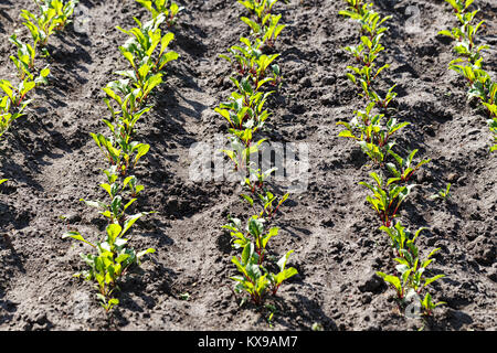 Sprouts of young beet grows on the bed, the first spring harvest - Stock Photo