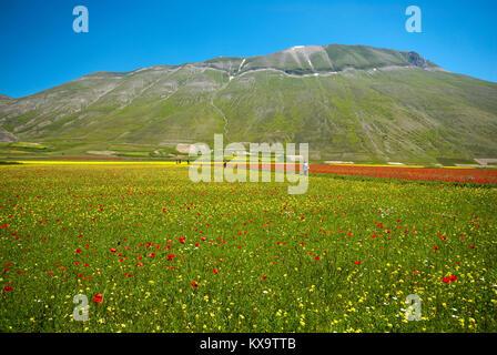 Flowering in Castelluccio di Norcia with Vettore Mountain in background, Pian Grande, Sibillini Mountains National - Stock Photo