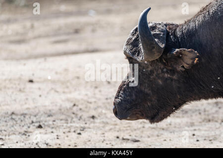 Buffalo bull big head with blurry  background in bokeh, profile portrait, strength and power expression,room space - Stock Photo