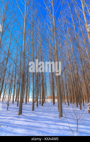 Barren trees stand tall in an orchard in winter on the Rathdrum Prairie near Coeur d'Alene, Idaho. - Stock Photo