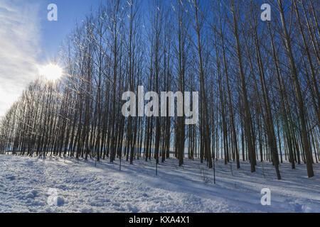 The sun shines through the trees in winter on the Rathdrum Prairie near Coeur d'Alene, Idaho. - Stock Photo
