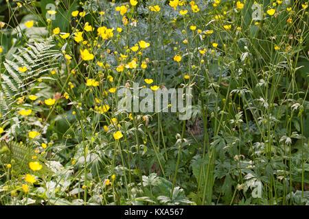 Scharfer Hahnenfuß, Scharfer Hahnenfuss, Ranunculus acris, Synonym: Ranunculus acer, meadow buttercup, tall buttercup, - Stock Photo