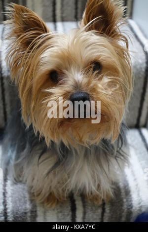 Harvey the yorkie - Stock Photo