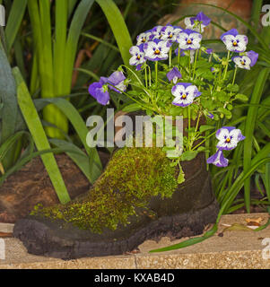 Container gardening with cluster of mauve and white flowers of pansies growing in old recycled boot with coating - Stock Photo