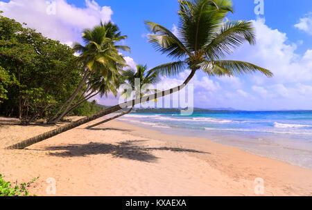 The palm trees on Caribbean beach, Martinique island. - Stock Photo