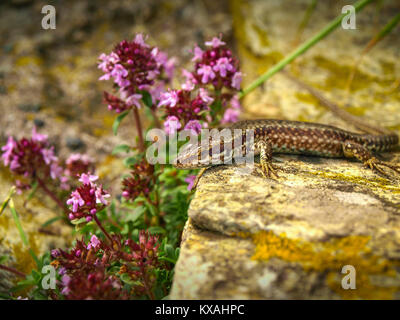Italian wall lizard or Ruin lizard Podarcis sicula, Lacertidae, Beigua National Geopark, Liguria, Italy - Stock Photo