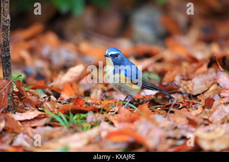 Red-flanked bluetail or Orange-flanked bush robin(Tarsiger cyanurus) in Japan - Stock Photo