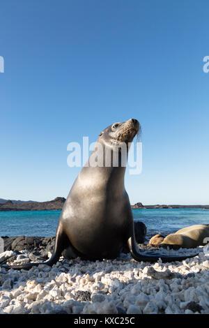 Galapagos seal lion (  Zalophus wollebaeki ), Chinese Hat island, Galapagos Islands Ecuador South America - Stock Photo