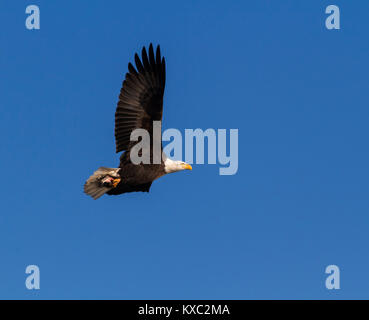 American Bald Eagle In Flight - Stock Photo