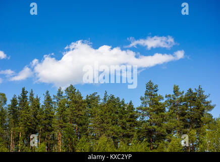 Pine forest under cumulus cloud on blue sky in Norway. - Stock Photo