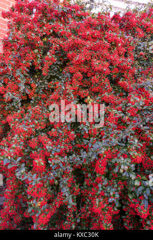 Bright red berries on a Firethorn plant (Pyracantha coccinea), garden shrub in December, England, UK - Stock Photo