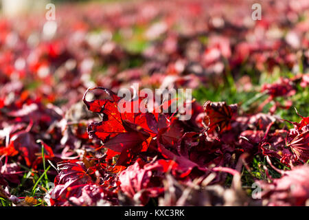 Macro closeup background of fallen red japanese maple leaves in sunlight on ground - Stock Photo