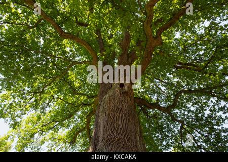 Germany, Bavaria, Lower Franconia, Pedunculate Oak, Quercus robur - Stock Photo