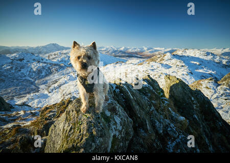 Cairn Terrier on the summit of Ben Venue in the winter. - Stock Photo