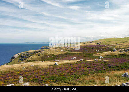 Limestone heath, here on the Great Orme in North Wales, is rare habitat. A considerable amount of soil leaching - Stock Photo