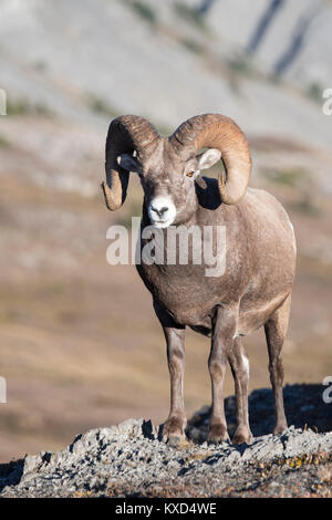 Rocky Mountain Bighorn Sheep Ram (Ovis canadensis), North America - Stock Photo