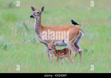 White-tailed deer doe and fawn (Odocoileus virginianus), North America - Stock Photo