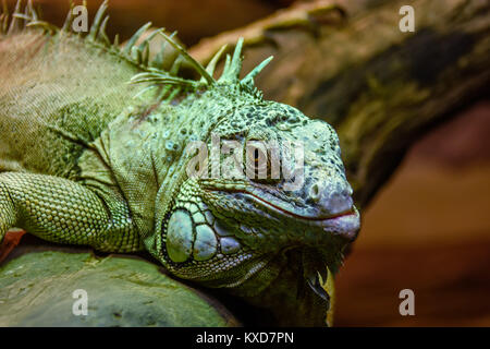 Wild animal, reptile, gray green iguana crawling through a tree in the rain forest - Stock Photo