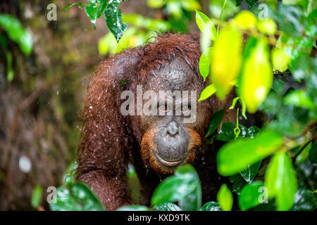 A close up portrait of the Bornean orangutan (Pongo pygmaeus) under rain in the wild nature. Central Bornean orangutan - Stock Photo