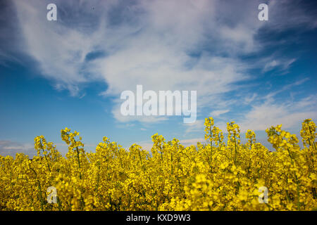 Canola field with beautiful blue sky and clouds background - Stock Photo