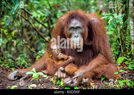 A female of the orangutan with a cub in a natural habitat.  Central Bornean orangutan (Pongo pygmaeus wurmbii) in - Stock Photo
