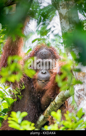 A close up portrait of the Bornean orangutan (Pongo pygmaeus)under rain in the wild nature. Central Bornean orangutan - Stock Photo