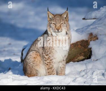 Eurasian lynx (Lynx lynx) sits in the snow,captive,Bavaria,Germany - Stock Photo