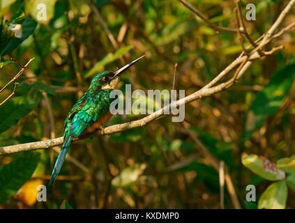 Rufous-tailed jacamar (Galbula ruficauda) sits on branch, Pantanal, Brazil, South America - Stock Photo