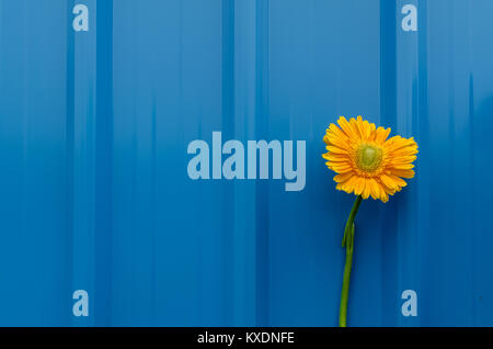 Broken stem beautiful yellow daisy flower over blue tin roofing sheet background displaying concept of hardship, - Stock Photo