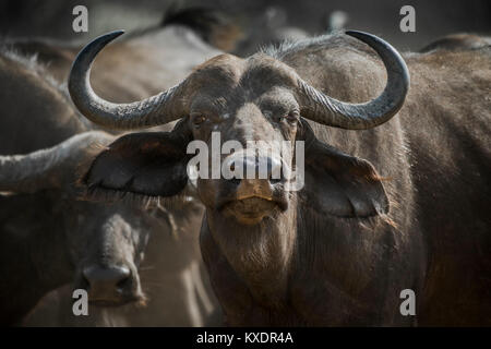 Cape buffalo (Syncerus caffer), Kazan, Chobe River Front, Chobe District, Botswana - Stock Photo