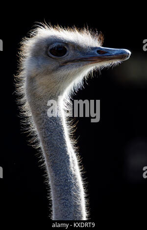 Ostrich (Struthio camelus), portrait, captive, Germany - Stock Photo