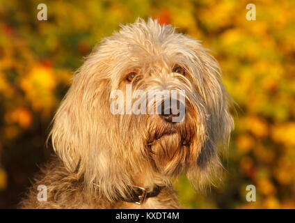 Labradoodle Grand Basset Griffon Vendeen Mongrel, male, 4 years, Portrait, Germany - Stock Photo