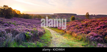 Sunrise across an heathland footpath early morning light catching the heather on the right in late summer on Cannock - Stock Photo