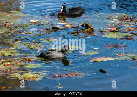 A pair of coots (Fulica atra) swimming on a lake - Stock Photo