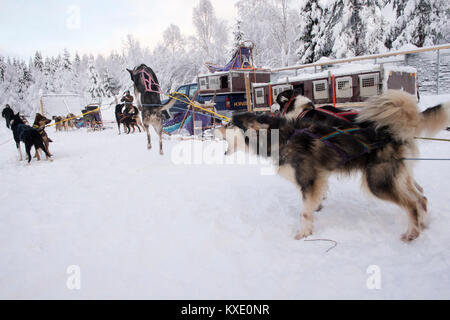 Sled dogs excited and ready to pull sled. - Stock Photo