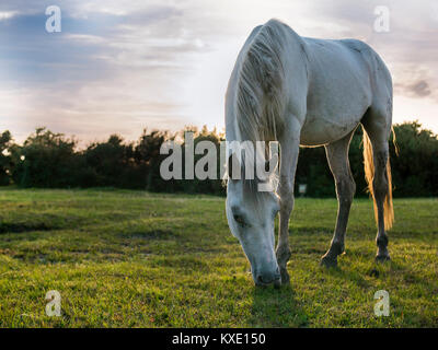 Grazing New Forest Pony in evening lightwhite - Stock Photo