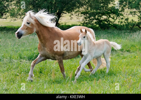 Haflinger horses, mare with a young cute foal, running side by side across a meadow in spring, Germany - Stock Photo