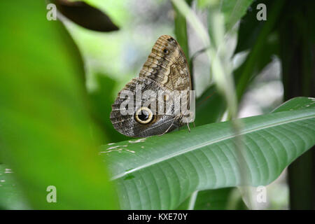 A giant owl butterfly sitting on a plant leaf in the rainforest in Corcovado National Park, Osa Peninsula, near - Stock Photo