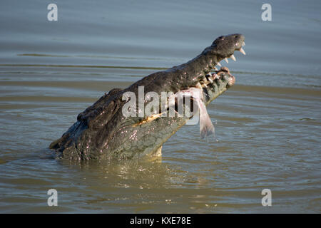 American Crocodile (Crocodylus acutus) from Monroe County, Florida, USA. - Stock Photo