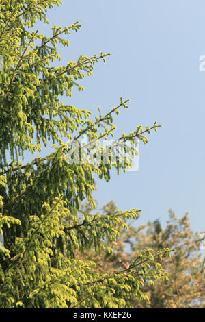 Young sprouts of the fir-tree growing in the spring wood - Stock Photo