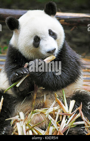 Panda bear or Giant Panda (Ailuropoda melanoleuca) eats bamboo shoots, Chengdu Research Base of Giant Panda Breeding, - Stock Photo