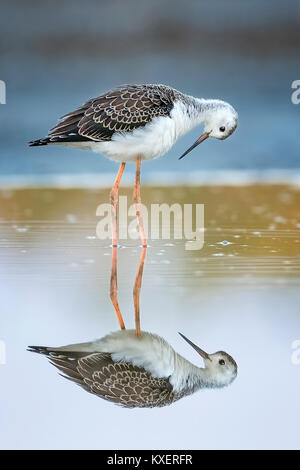 Black-winged Black-winged Stilt (Himantopus himantopus),Young bird in shallow water,Lake Neusiedl,Austria - Stock Photo