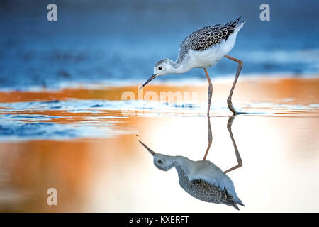 Black-winged Black-winged Stilt (Himantopus himantopus),Young bird,search for food in water,Lake Neusiedl,Austria - Stock Photo